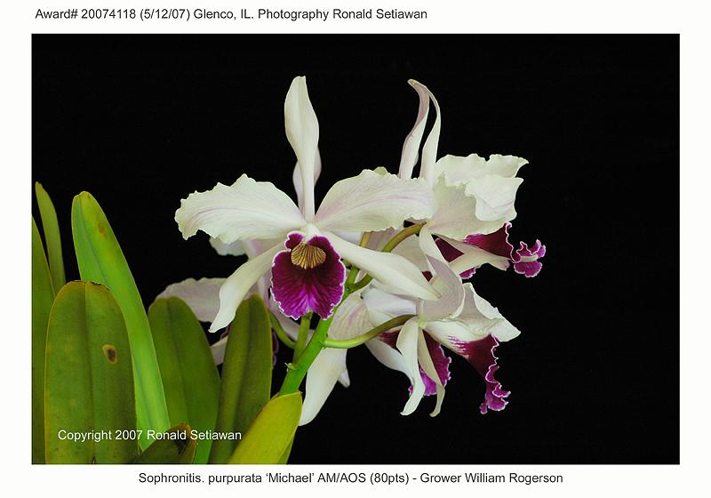 20074118 - Sophronitis purpurata Michael AM/AOS (80pts)