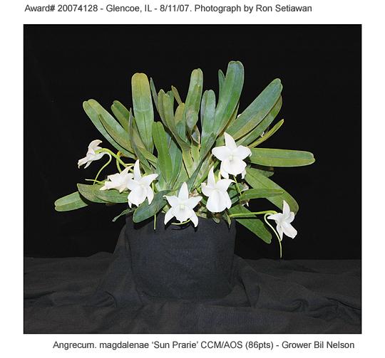 20074128 - Angrecum magdalenae Sun Prarie CCM/AOS (86 pts)