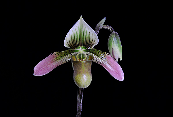 20085905 - Paph Rosy Egret Pink Lady AM/AOS 81 pts.