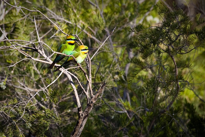 Rainbow Bee-Eaters M & F