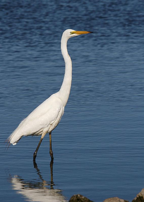 February 3. Egret