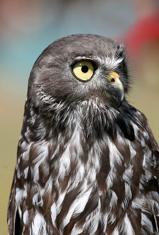 March 18. Barking Owl