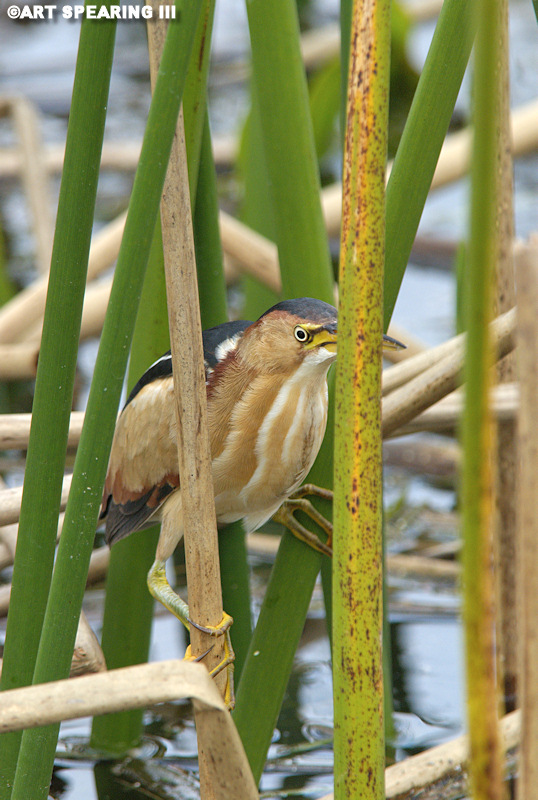 Viera Wetlands Least Bittern 1