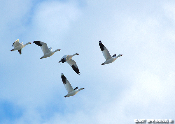 Snow Geese At Middle Creek #5