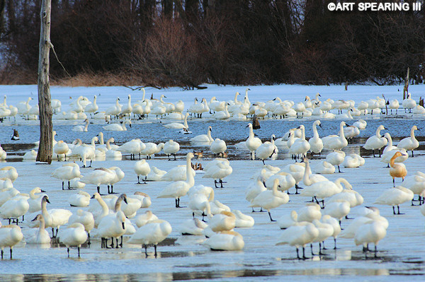 Middle Creek Tundra Swans #2