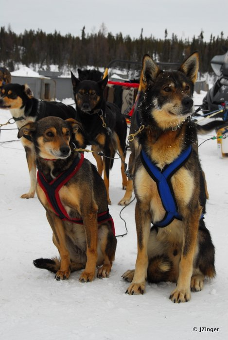 Sled Dogs, Yellowknife