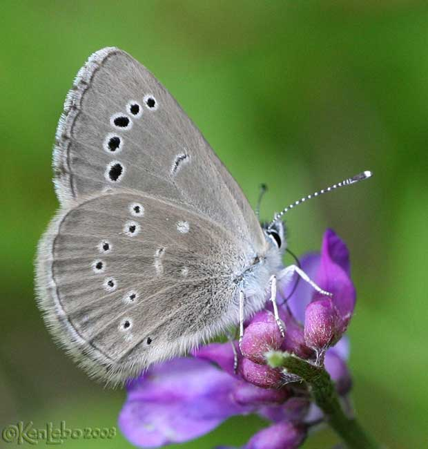 Silvery Blue - female