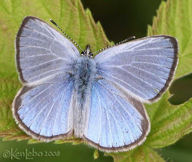 Silvery Blue - male