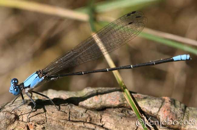 Blue-fronted Dancer Argia apicalis