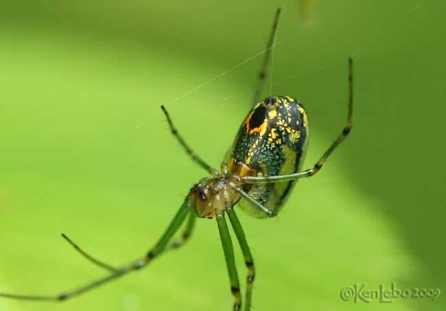 Orchard Spider - Leucauge venusta