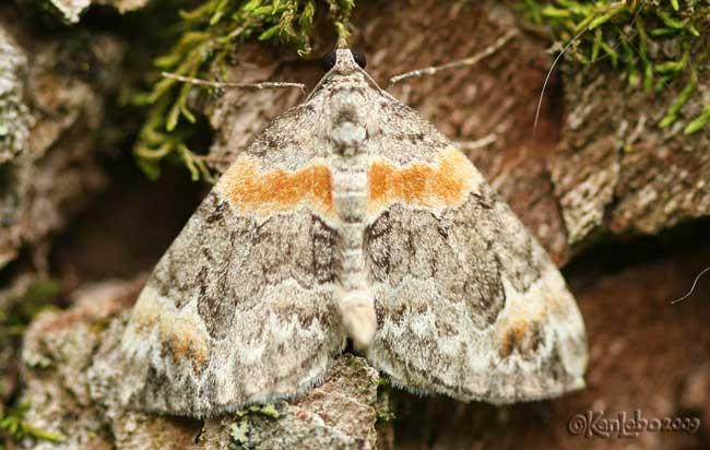 Orange-barred Carpet - Dysstroma hersiliata #7189