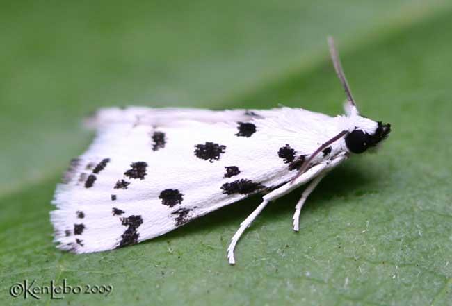 Spotted Peppergrass Moth Eustixia pupula #4794