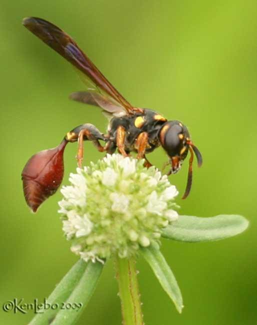 Potter/Mason Wasp Zethus slossonae