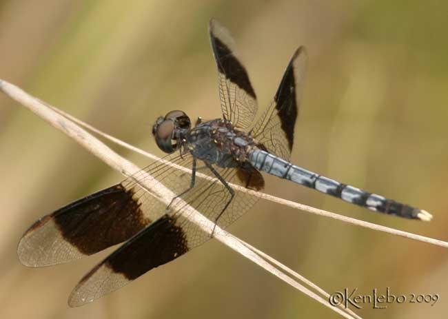 Band-winged Dragonlet Erythrodiplax umbrata