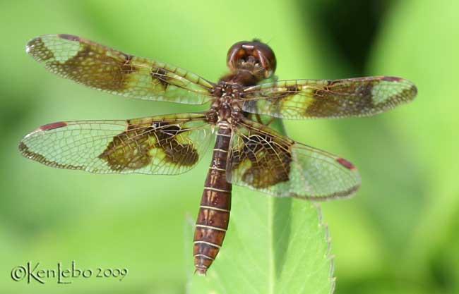 Eastern Amberwing Perithemis tenera female