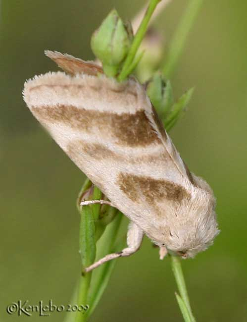 Three-lined Flower Moth Schinia trifascia  #11149