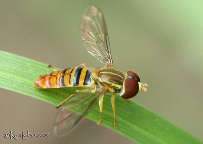 Flower Fly Toxomerus politus