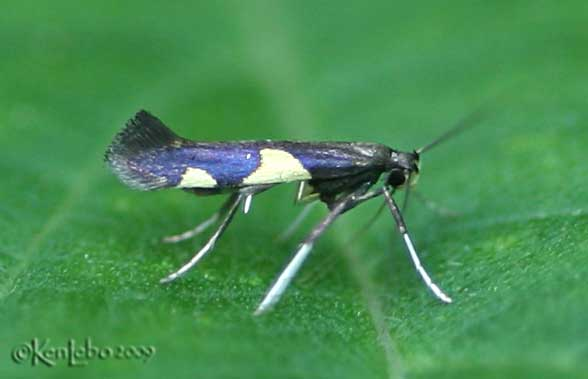 Caloptilia Sp