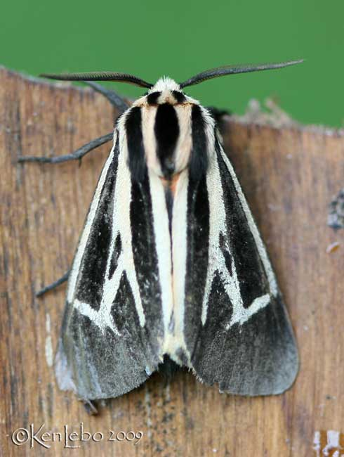 Harnessed Moth Apantesis phalerata #8169