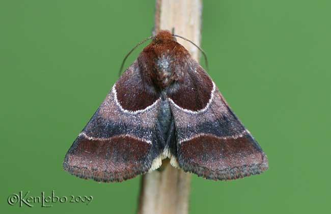 Arcigera Flower Moth Schinia arcigera #11128