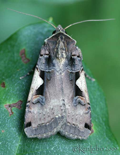 Greater Black-lettered Dart Xestia dolosa #10942.1