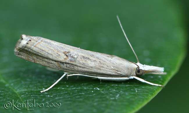 Bluegrass Webworm Moth Parapediasia teterrella #5451
