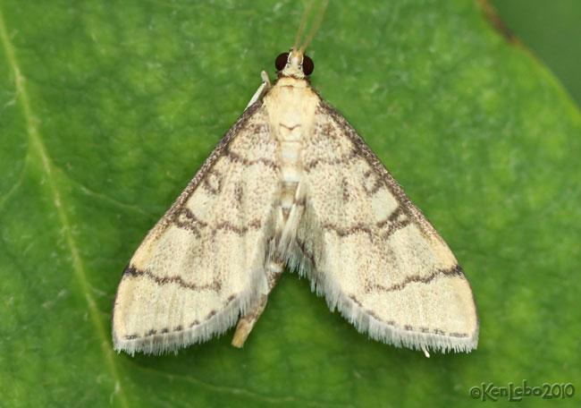 Hollow-spotted Blepharomastix Blepharomastix ranalis #5182