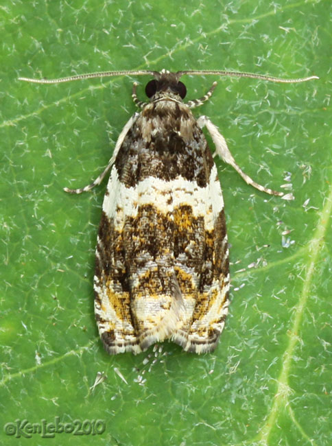 Olethreutes fasciatana #2823