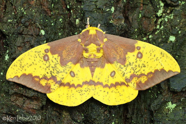 Imperial Moth Eacles imperialis #7704