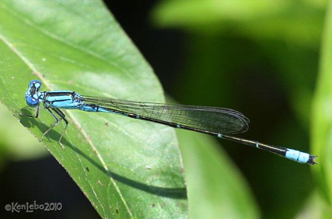 Slender Bluet Enallagma traviatum