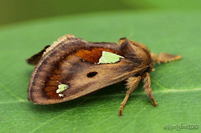 Spiny Oak Slug Moth Euclea delphinii #4697
