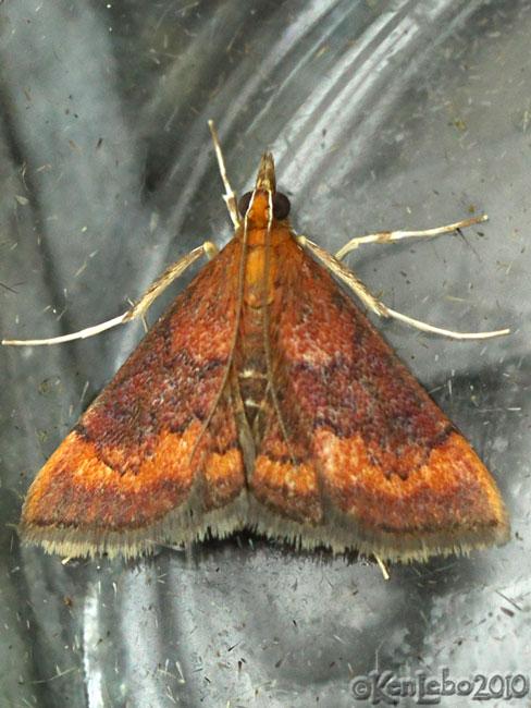 Variable Reddish Pyrausta Moth Pyrausta rubricalis #5051