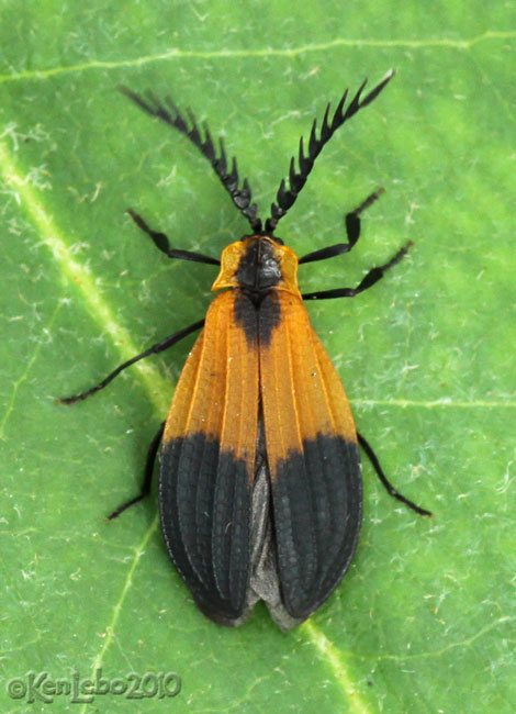 Net-winged Beetle Calopteron terminale