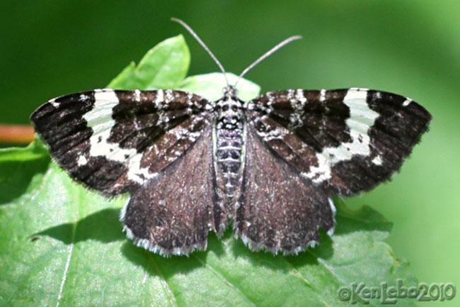 Spear-marked Black Rheumaptera hastata #7293