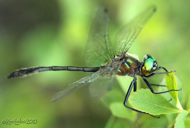 Racket-tailed Emerald Dorocordulia libera