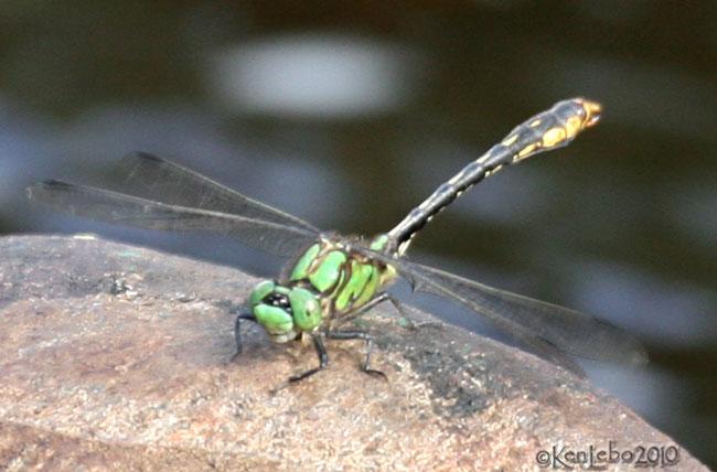 Brook Snaketail Ophiogomphus aspersus