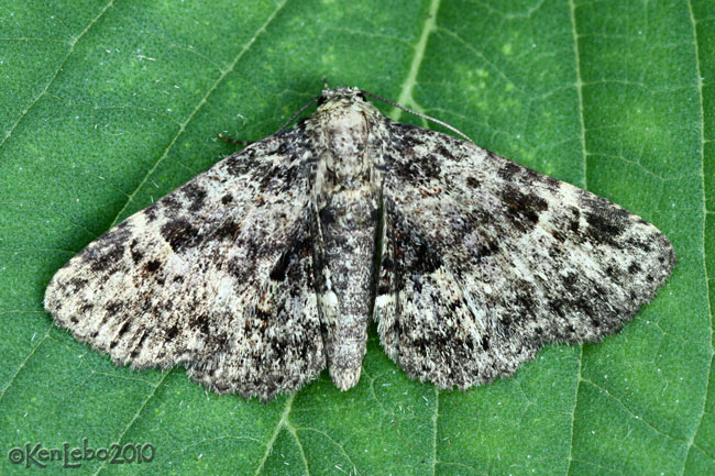 Common Fungus Moth Metalectra discalis #8499