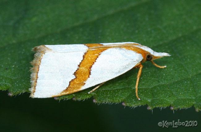 Straight-lined Argyria Moth Vaxi critica #5466