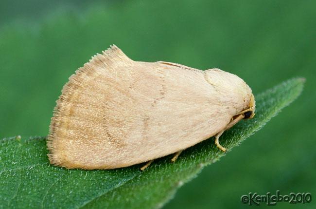 Red-crossed Button Slug Moth Tortricidia pallida #4653