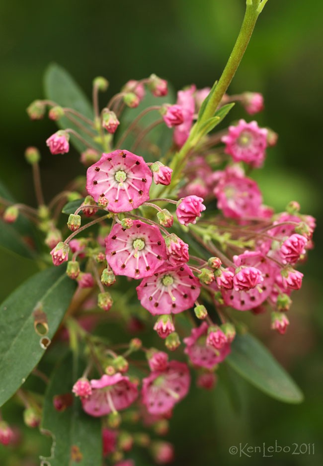 Sheep Laurel