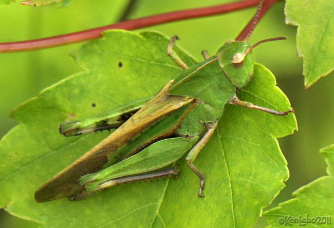 Northern Green-striped Grasshopper Chortophaga virdifasciata