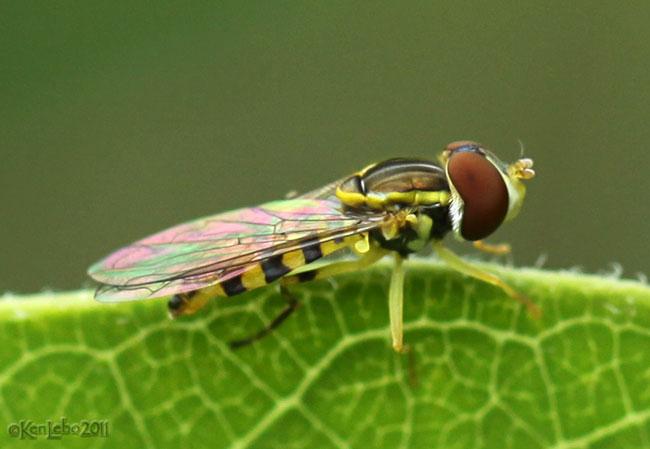 Flower Fly Toxomerus geminatus