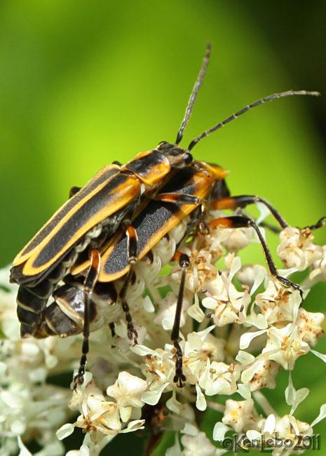 Soldier Beetle Chauliognathus marginatus