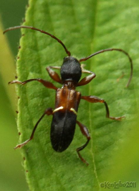 Longhorned Beetle Euderces picipes