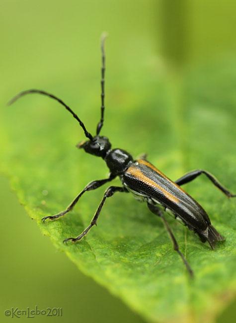 Longhorned Beetle Strangalepta abbreviata