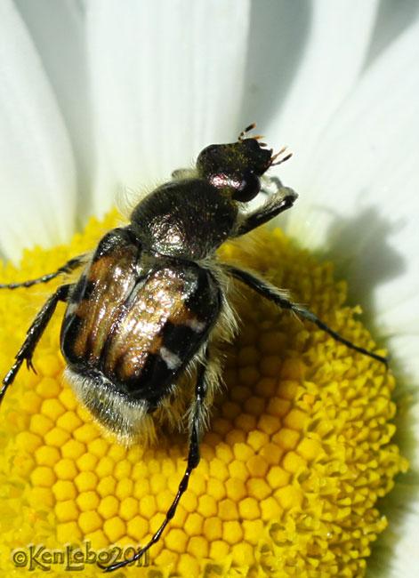 Flower Scarab Trichiotinus piger