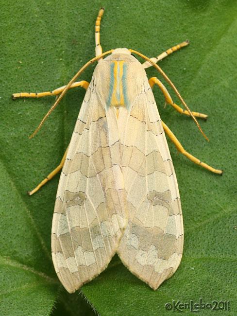 Banded Tussock Moth Halysidota tessellaris #8203