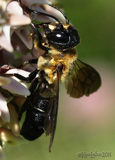 Giant Resin Bee Megachile sculpturalis