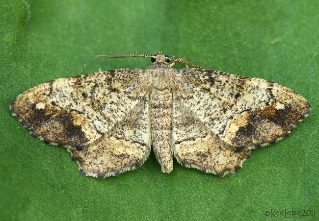 One-spotted Variant Hypagyritis unipunctata #6654