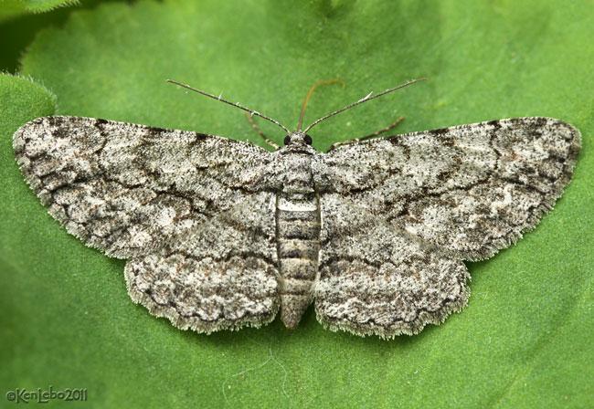 Common Gray Anavitrinella pampinaria 6590